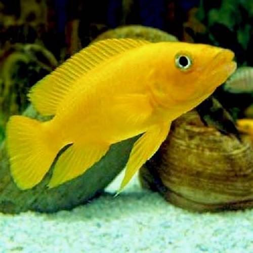 Neolamprologus leleupi - Lemon cichlid 4-5 cm