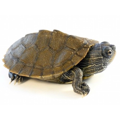 Graptemys kohnii - Mississippi sawback map turtle (5 cm)