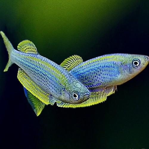 Lamprichthys tanganicanus L