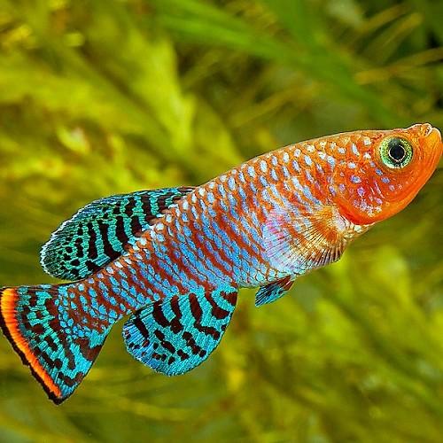 Nothobranchius rachovii Beira - Bluefin Notho L