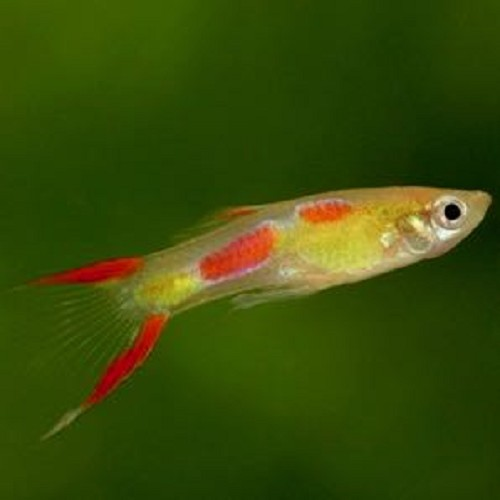 Poecilia wingei male - Guppy endler blond male L