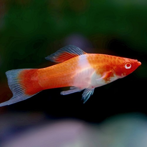 Xiphophorus helleri red eye kohaku - Swordtail koi ML