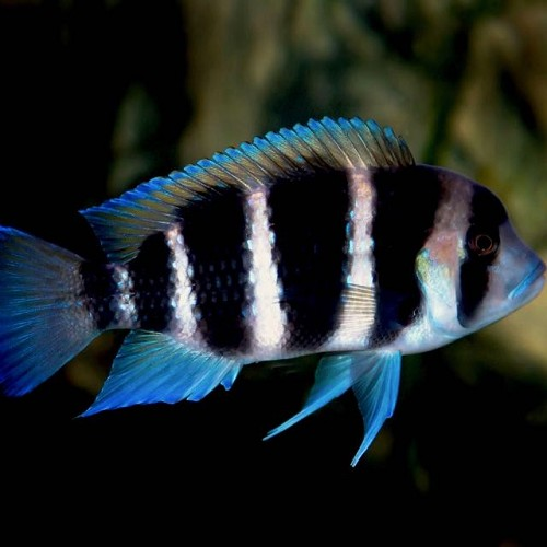 Cyphotilapia frontosa - Frontosa Cichlid 5-6 cm