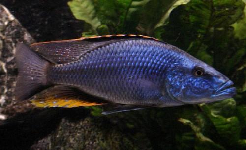 Dimidiochromis compressiceps 3-4 cm