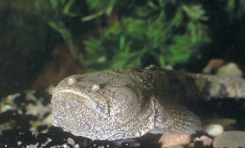 Potamobatrachus trispinosus Monstervis