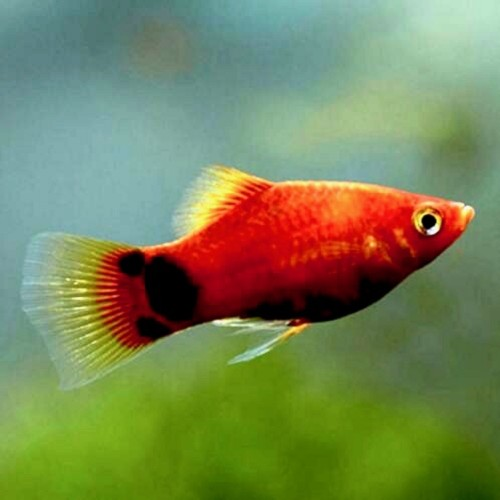 Xiph.maculatus  Platy Micky Mouse red  M