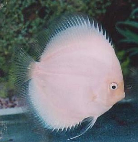 S.discus   Discus white diamond 7-8 cm